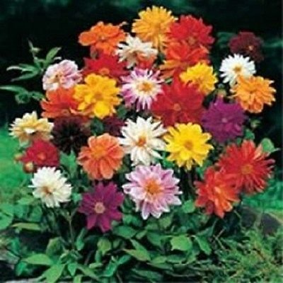 50 Dahlia Unwin Literie Mix Graines de fleurs