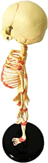 35 Cm İnsan Bebek İskeleti Replika Tıbbi Anatomi Anatomi, Öğrenme veya Öğretim Yardımcısı Modeli Olarak Anatomi Modeli, İn...