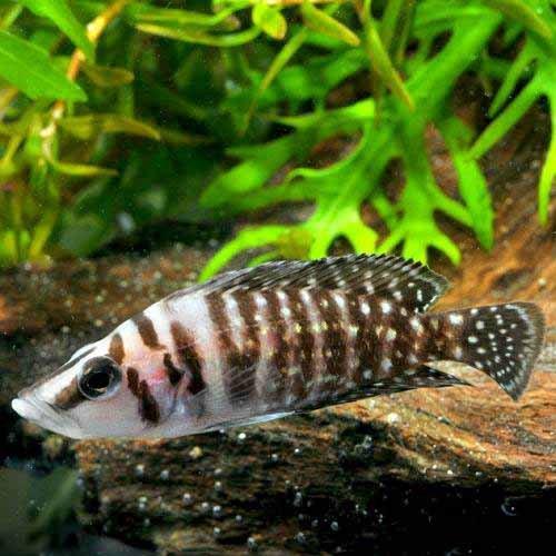(熱帯魚)アルトランプロローグス・カルバス ブラック(ブリード)(1匹) 本州・四国限定[生体]