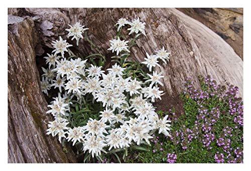 5 x Leontopodium souliei 'Alpina White'...