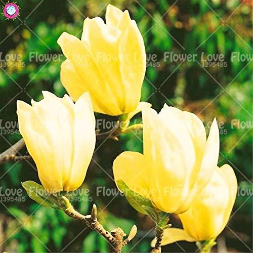 GEOPONICS SEEDS: 10 Stück selten gelbe Magnolie Blume Schöne Bonsai Magnolien-Baum Magnolia Blumen Für Hausgarten-Pflanzen Pflanzen eingetopft: 5