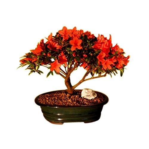 Bonsai Boy Flowering Red Azalea (