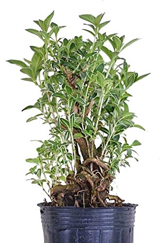 9GreenBox - Snow Rose Serissa - Quart Sized Pot Live Plant Ornament Decor for Home, Kitchen, Office, Table, Desk - Attracts Zen, Luck, Good Fortune - Non-GMO, Grown in The USA