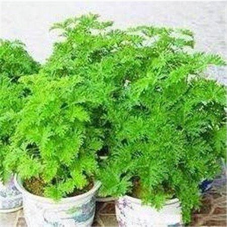 Purple: Graines de gazon anti-moustiques (100 graines) Graines de fleurs pour plantes de plein air de bonsaïs de jardin