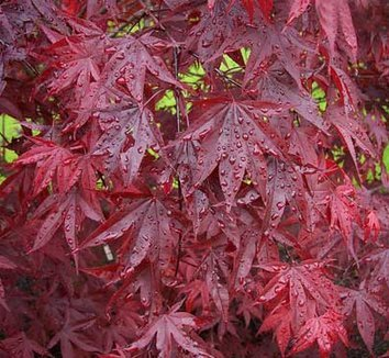 Emperor One Japanese Maple 3 - Year Live Plant