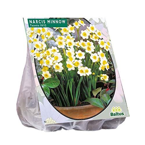 Narcis Mini Minnow 40 Stück Osterglocken Narzissen Blumenzwiebel