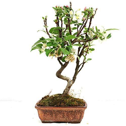 Manzano ornamental, Malus, bonsái para exterior, 7 años, altura 28 cm