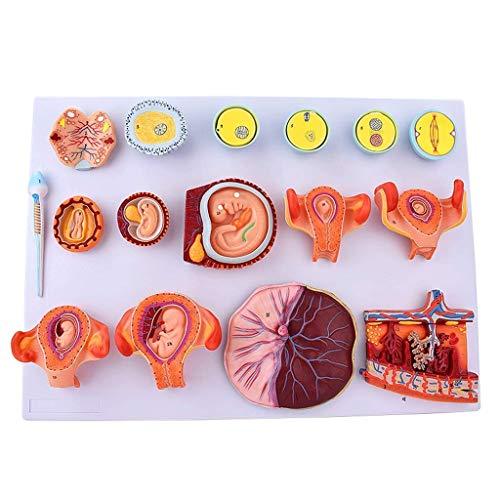 Befruchtung und frühzeitiger embryonaler Entwicklungsprozess Anatomiemodell Lehrmittel und Lehrmaterialien