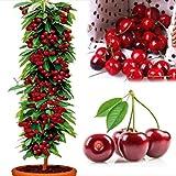 20 Semillas Cerezo árbol frutal para plantar