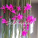cushy 200pcs potteds epiphyllum semi balcone bonsai seme per garden & home four seasons semina facile da coltivare 12