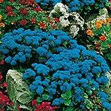 Qulista Samenhaus - Rarität Leberbalsam blaues Meer Bodendecker für Insekten Bienen und Schmetterlinge | Blumensamen Mischung winterhart mehrjährig im Staudenbeet/Blumenkasten