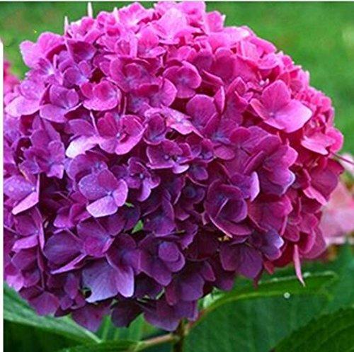 10pcs / pack Red Hydrangea planter des graines Mélangé Hydrangea Fleurs Accueil plantes graines de fleurs Bonsai Viburnum pour le jardin de la maison 6