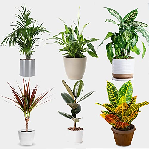 All Occasions Indoor Plants Real, Mix of 6 House Plants in 12cm Pots, Real Plants to Grow in Your...