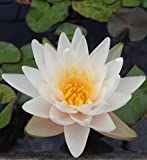 Live Aquatic Hardy Water Lily | Pre-Grown, Pre-Rooted, Hardy Water Lily for Your Pond or Patio Water Garden | Drop-N-Grow Convenience -White