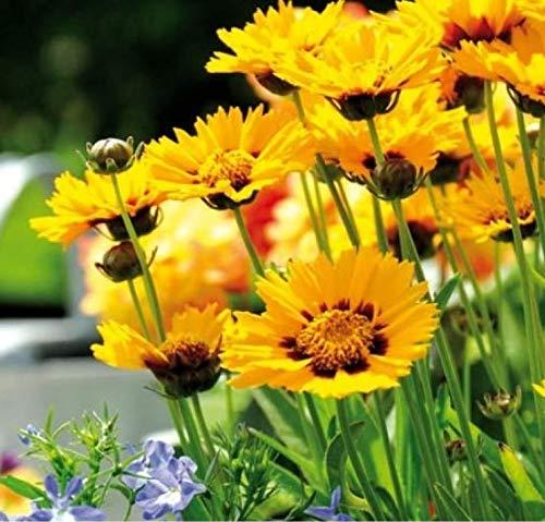 Qulista Samenhaus - 30pcs Rarität Zwergiges Mädchenauge 'Sterntaler' für Bienen und Schmetterlinge Blumensamen bienenfreundlich winterhart mehrjährig