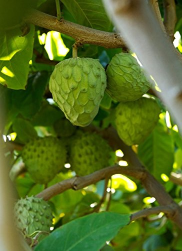 Shopvise Tropische Obstbäume des Cherimoya (Sämling)