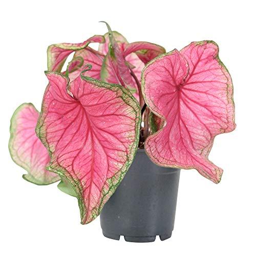 """Caladium bicolor""""Sweetheart""""   Rosa Caladium Pflanze   Exotische und Luftreinigende Zimmerpflanze   Höhe 30-50cm   Topf-Ø 12cm"""