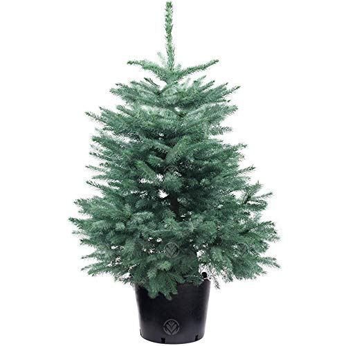 Blue Spruce Pot Grown Christmas Tree - Choice of sizes