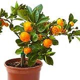 Rare Bush Orange Fruit Seedling Plant Rare Bush Orange Fruit Seedling Plant 1 Live plant SAFETY AND GOOD PACKING Quick Shipping by AMAZON