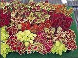 Coleus Fairway Mix 50 Seeds Moon Gardens Simply Grown Beautifully
