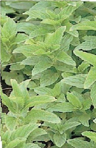 JustSeed Saatgut, Grüne Minze/Mentha spicata, 500Samen