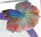 Halfmoon Betta - Male - Live Aquarium Tropical Fish