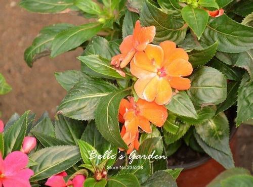 100 pcs / sac de graines de Balsamine, belle plante de fleurs Accueil Jardin Fleurs en pot semences intérieur Bonsai Graines 3