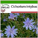 SAFLAX - Cicoria comune - 250 semi - Con substrato - Cichorium intybus