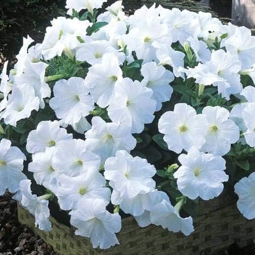 Fash Lady Berserker Balkon Topf Seltene Blaue Weiße Petunie Blumensamen Blühende Pflanzen 100 Partikel/Lot 7