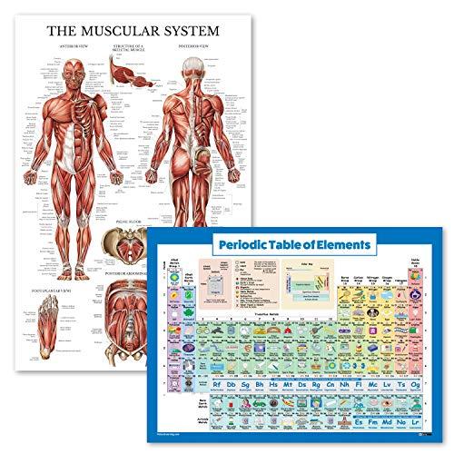 Poster mit Periodensystem der Elemente, für Kinder + Muskulatur-Poster, laminiert, 2 Stück