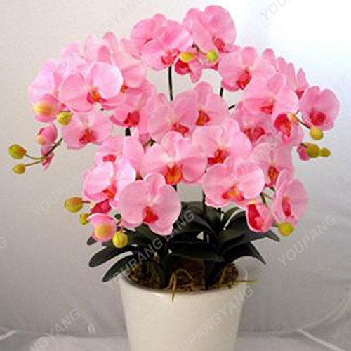 100 pcs/sac Rare Mini Orchid Graines Orchidée Phalaenopsis miniature en intérieur Jardin Bonsai Graines de fleurs Pot d'orchidée jardin plante de couleur pourpre