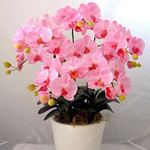 200 pcs Orchid Seeds simulation haute fleur d'orchidée de Phalaenopsis Plantes Phalaenopsis Orchidées Graines Bonsai Pour la maison Décoration Violet