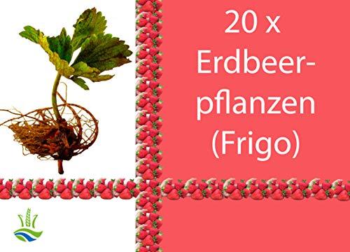 20 x Erdbeerpflanzen Elsanta - Frigo Erdbeeren Erdbeeren pflanzen anbauen