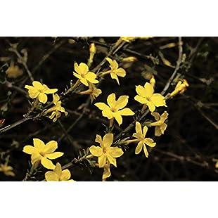 Winter-Flowered Jasmine / Jasminum Nudiflorum 2-3ft in 2L Pot, Yellow Flowers 3fatpigs®:Superhyipmonitor
