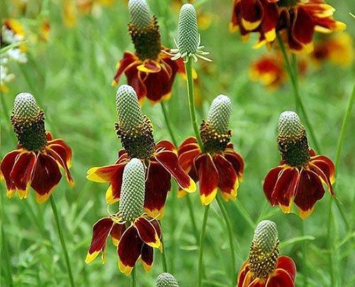 Rote Präriezapfenblume - Mexican Hat - Ratibida columnaris - Blume - 100 Samen