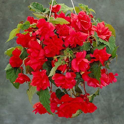 Derlam Samenhaus-50 Pcs Begonie Red Comet exotische Samen Bonsai Blumensamen mehrjährig winterhart für Garten