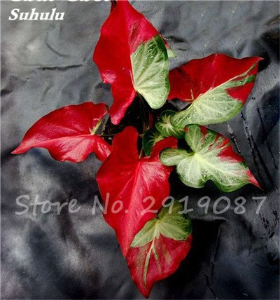 Janpanse Bonsai coleus Seeds 50 Pcs Plantes feuillage couleur parfaite arc Graines Belle mixte Fleur Flore Jardin Sement 7