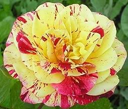 George Burns Rose Seeds Bush Flower Seeds - Treasuresbylee Exclusive