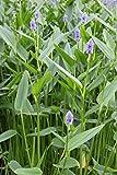 fertig im Pflanzkorb - Pontederia lanceolata - lanzettblättriges Hechtkraut Riesenhechtkraut