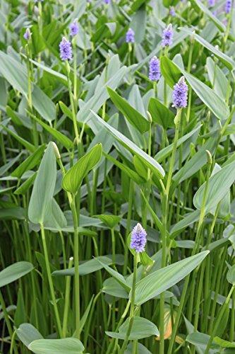 fertig im Pflanzkorb - Pontederia lanceolata - lanzettblättriges Hechtkraut Riesenhechtkraut, blau - Wasserpflanzen Wolff