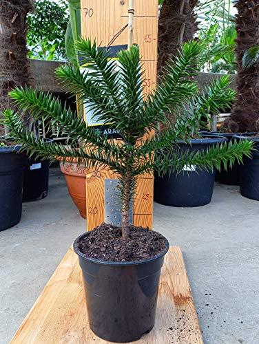 Araucaria Araucana - Schmucktanne - chilenische Andentanne - Araukarie - 60-80 cm