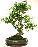 Tamaño del espécimen Ligustrum (Mandarin Tree) Bonsái Tree S Tronco – Se suministra en olla ovalada con bandeja de goteo de cerámica solo árbol sin cuidado