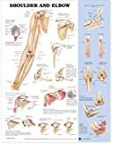 ACC Shoulder and Elbow Anatomical Chart