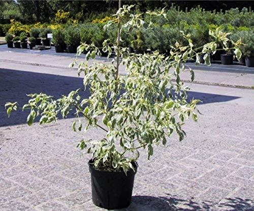 Cornus alternifolia Argentea - Etagenhartriegel - Pagodenhartriegel - Weißbunter Hartriegel - Wechselblättriger Hartriegel