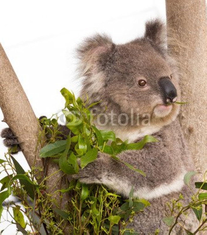 gran descuento Australian Koala (80826189), lona, 40 40 40 x 50 cm  Tienda 2018