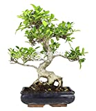 Bonsai - Ficus, 10 Años (Bonsai Sei - Ficus Retusa)