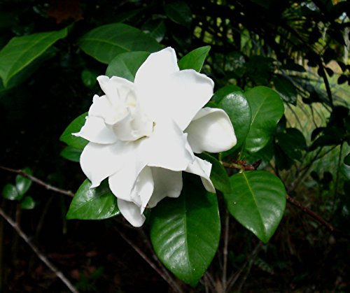 1 PIANTA DI GARDENIA VASO 19CM arbusto fiori profumatissimi