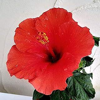 ハイビスカス:ロングライフ アフロディーテ4号鉢入り[花持ちが良い!夜も花が楽しめる][鉢花]