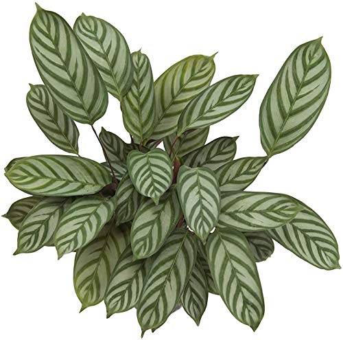"""AMERICAN PLANT EXCHANGE Ctenanthe Exotica Easy Care Prayer Live Plant, 6"""" Pot, Stunning One of a Kind Air Purifier"""