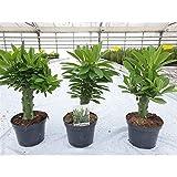 Euphorbia Nerifolia Succulent Plant in a 12cm Pot x 1 China Cactus